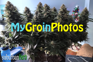 My first Grow in Photos.  My girls in photos from seedling to harvest.