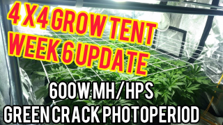 Week 6: 4x4 600W Cannabis Grow Tent