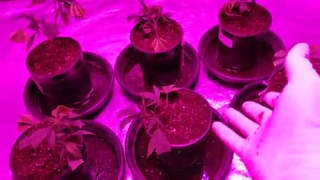 Transplanting Clones In Growers Foam Into 1 Gallon Pots With Coco! Also Final Cured Weight of 3LBS!! With A Look At A Couple Finished Buds!!