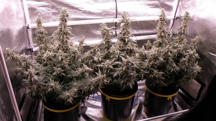 DWC Indoor Cannabis Almost Ready for Harvest