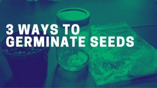 How to Germinate Cannabis Marijuana Seeds
