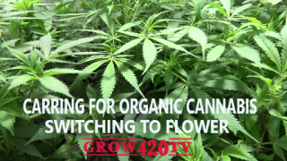 Caring for Organic Cannabis, Switching to Flower
