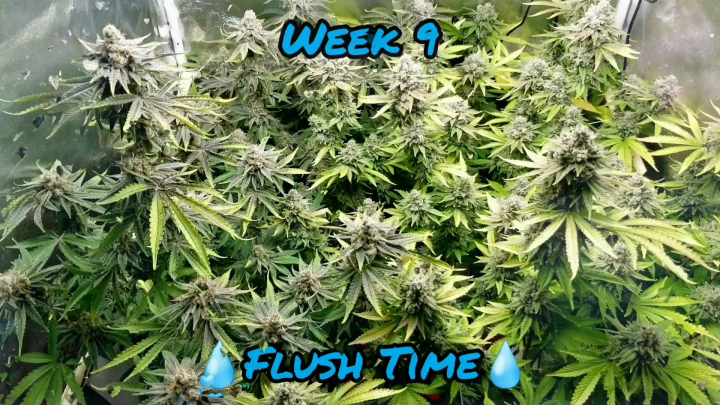 Week 9. How to flush. When to harvest with magnified trichome shots!