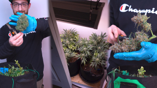 I Grew Absurdly Big Buds In My Closet: Seed to Harvest Autoflower Grow Using 180 Watts!