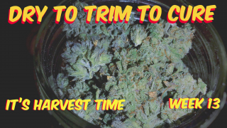 Harvesting Drying And Trimming My Cannabis