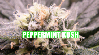 Harvesting Peppermint Kush Cannabis Plants