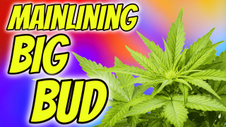 INDOOR CANNABIS GROW: MAINLINING BIG BUD!