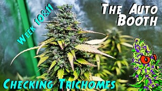 The Auto Booth Ep. 9 | 3 Strain Autoflower Grow Weeks 10 & 11 (Checking Trichomes)