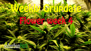suBurBan heRb's weekly grow update. Week 4 Flower. White Widow and Red Dragon