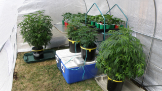 Cannabis Plants & Veggies in Portable Greenhouse