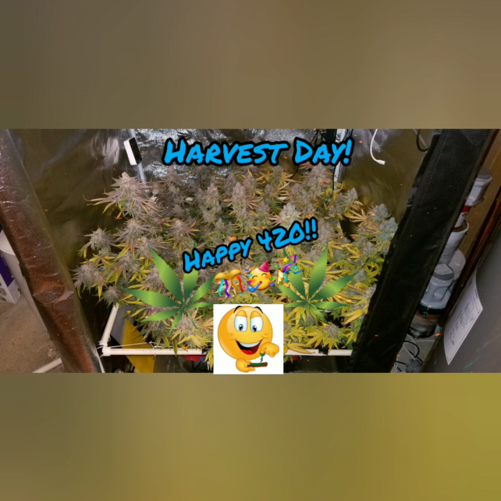 420 harvest of Lava Cake and Do-Si-Dos!!