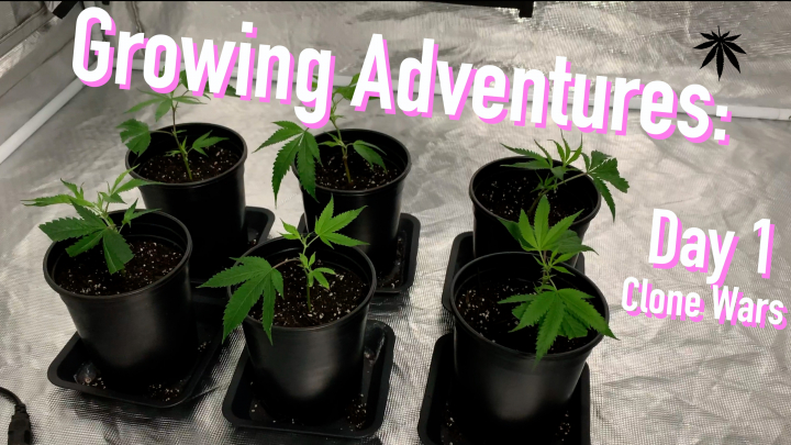 INDOOR TENT GROW: PICKING UP BANANA OG CLONES FROM LOCAL DISPENSARY