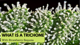 What are Trichomes with The Mary Jane Experience