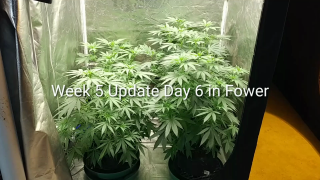 Week 5 Update. 4 Gold Leafs from ILGM Day 6 in Flower, Growing under the Mars Hydro TSW 2000. April 28, 2020