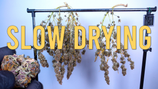 SLOW DRYING THE PURPLE PUNCH AUTOFLOWER