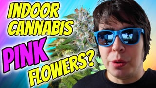 INDOOR CANNABIS GROW: FLOWERING PINK COLAS?