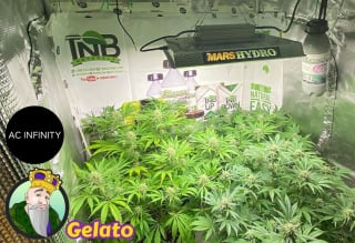 End of week 5 flower of Crop King Seeds Gelato, TNB Naturals, Mars Hydro ts1000 , AC INFINITY T6