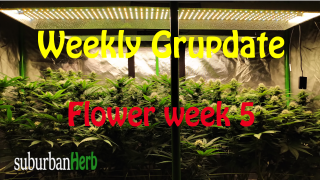 suBurBan heRb's weekly grow update. Week 5 Flower. White Widow and Red Dragon