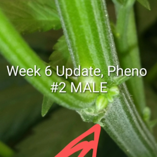 Week 6 Update Day 13 in Flower now 3 Gold Leafs from ILGM, Growing under the Mars Hydro TSW 2000. May 5, 2020