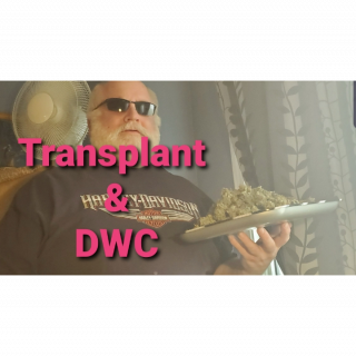 Transplant in DWC GROWING MEDICAL MARIJUANA