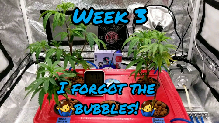 Week 3 Sunday Driver, Blue Glue, Sour Ghost OG, and Gorilla Glue #4 in a EZHYDROGROW