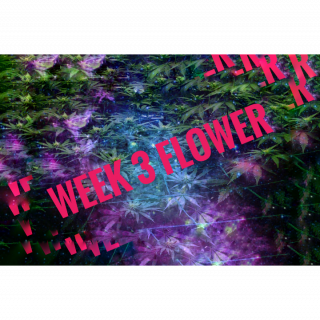 Week 3 FLOWER for New Growers