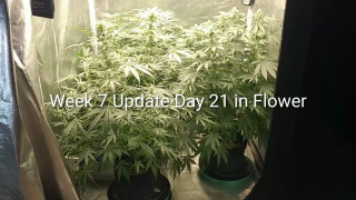 Week 7 Update 3 Gold Leafs from ILGM, Growing under the Mars Hydro TSW 2000. May 13, 2020
