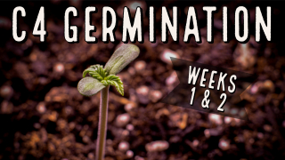 Season 3 (Weeks 1 & 2): C4 Autoflower Germination