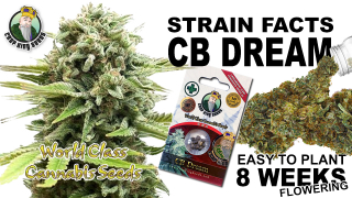 CB Dream Feminized Marijuana Seeds Strain Facts - Crop  King Seeds