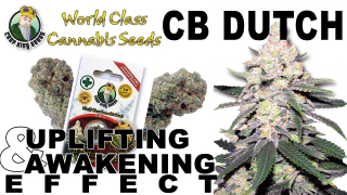 CB Dutch Feminized Marijuana Seeds Strain Facts - Crop  King Seeds