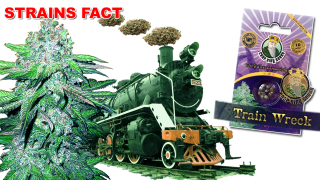 TRAIN WRECK Marijuana Seeds Strain Facts - Crop  King Seeds