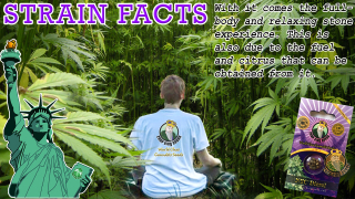 NYC DIESEL STRAINS FACT Marijuana Seeds Strain Facts - Crop  King Seeds