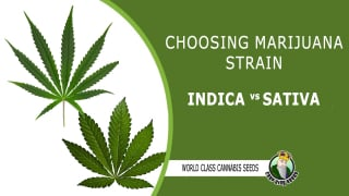CHOOSING MARIJUANA STRAIN INDICA VS SATIVA - CROP KING SEEDS