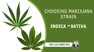 CHOOSING MARIJUANA STRAIN INDICA AND SATIVA - CROP KING SEEDS