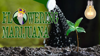 FLOWERING MARIJUANA WHEN TO FLOWER YOUR WEED GROWING BUDS - CROP KING SEEDS