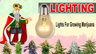 LIGHTING IN MARIJUANA PLANTS - Crop King Seeds