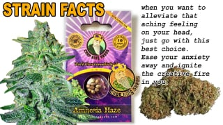 AMNESIA HAZE STRAINS FACT Feminized Marijuana Seeds Strain Facts - Crop  King Seeds
