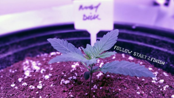 HOW TO GROW AUTOFLOWERS USING ONLY ORGANIC DRY AMENDMENTS