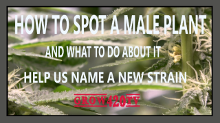 How to spot a male plant. Help us name a new strain in the comments!!!!