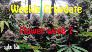 suBurBan heRb's weekly grow update. Week 7 Flower. White Widow and Red Dragon