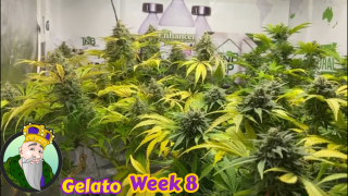 End of wk 8 of flower for Crop King Seed Gelato  Mars Hydro TS 1000, TNB Naturals, AC INFINITY  grow