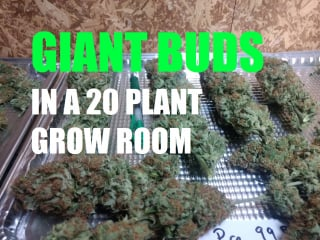 Massive Buds In My Biggest Grow Room. Harvest Results, and Grow Tips
