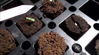 Three Gardens Update Crunch Berries Seeds Started