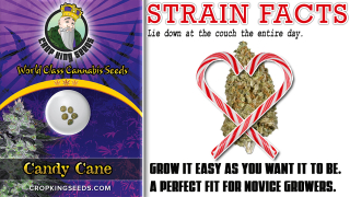 Candy Cane Auto Flower Feminized Marijuana Seeds Strain Facts -  Crop King Seeds