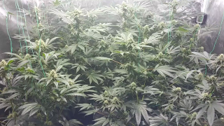 5x5 Grow Tent Update. 3 Cherry Pies Day 28 in Flower, Alexander Supertramp Day 37 in Flower. May 24,2020