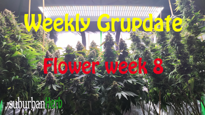 suBurBan heRb's weekly cannabis grow update. Week 8 Flower. White Widow and Red Dragon