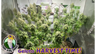 HARVEST DAY for Crop King Seeds Gelato grown with Mars Hydro TS1000, TNB Naturals, AC INFINITY