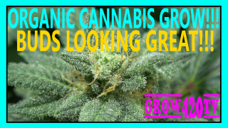 Organic Cannabis Grow!!! Buds Looking Great!!!