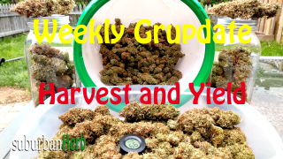 suBurBan heRb's weekly cannabis grow update. Harvest and Yield! White Widow and Red Dragon