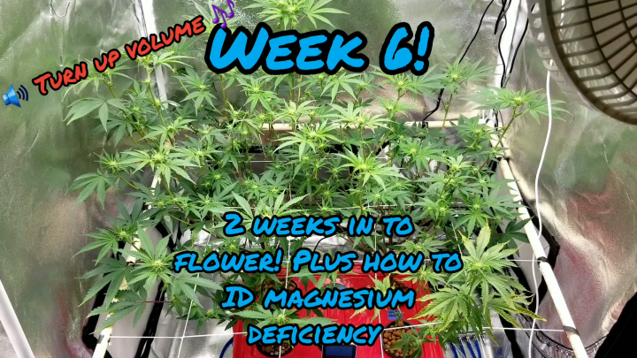 Week 6. How to ID magnesium deficiency in a EZHYDROGROW DWC hydroponic kit inside a 3x3x5 grow tent running a Mars Hydro TSW2000 LED grow light.
